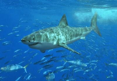 Tiburón blanco en el Mediterráneo