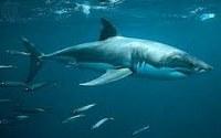 Imagen de tiburón blanco