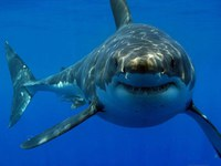 Tiburón blanco